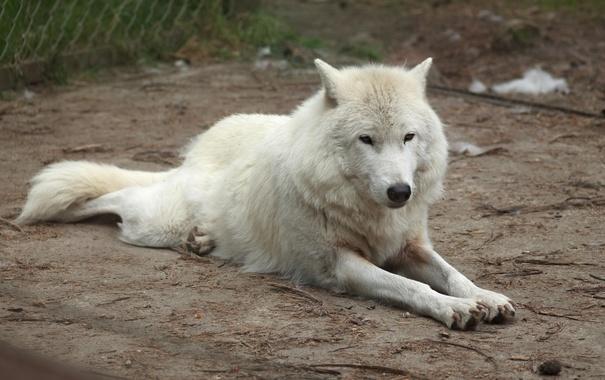 Фото обои взгляд, животное, волк, хищник, охотник, белый волк