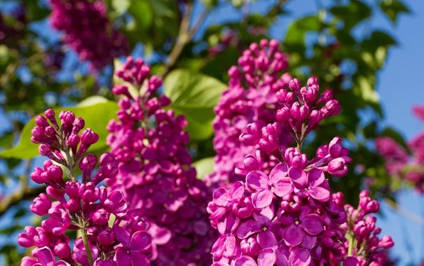 Фото обои лето, макро, цветы, природа, сирень