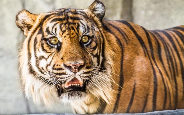 Фото обои взгляд, тигр, зверь