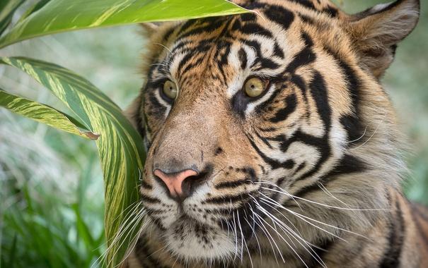 Фото обои взгляд, листья, тигр, полосы, окрас