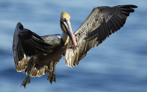 Вообще пеликан во сне означает смешение успехов и разочарований в вашей жизни.