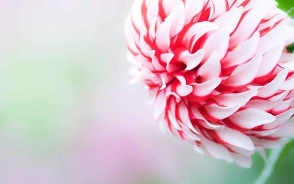 Фото обои цветок, обои, лепестки, бутон
