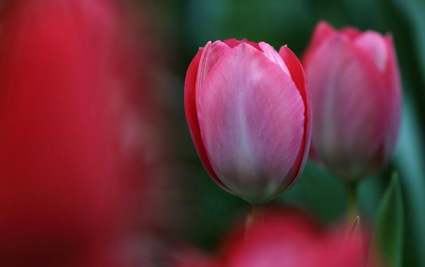 Фото обои весна, лепестки, бутон, тюльпаны