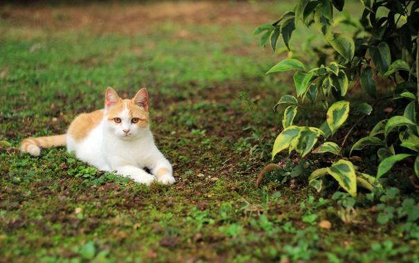 Фото обои кот, отдых, трава, кошка