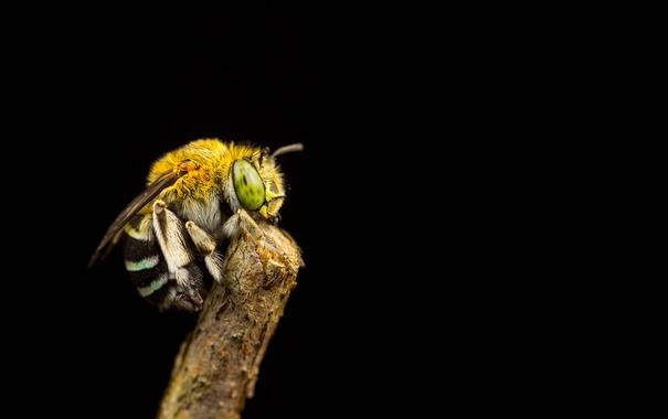 Фото обои пчела, фон, ветка, насекомое