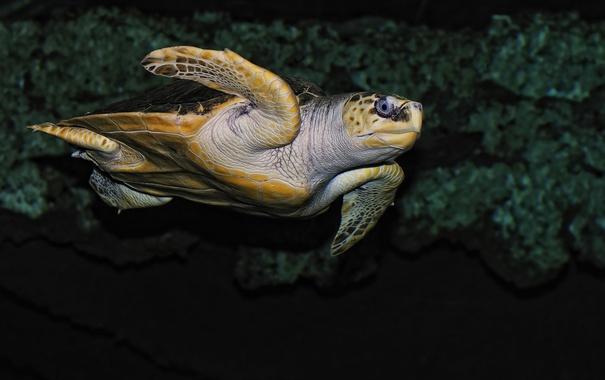 Фото обои море, океан, черепаха, голова