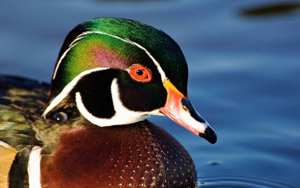 Фото обои вода, птица, клюв, утка