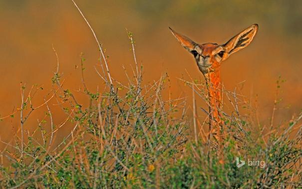 Фото обои Африка, Кения, антилопа, геренук, Национальный заповедник Самбуру, жирафовая газель