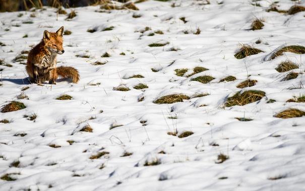Фото обои зима, снег, природа, лиса