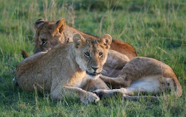 Фото обои трава, кошки, отдых, львы, троица
