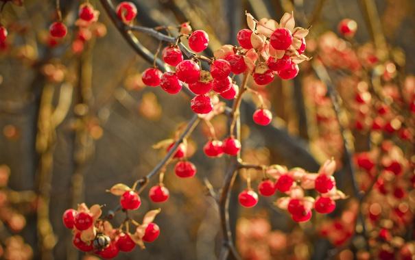 Фото обои макро, природа, ягоды, фон