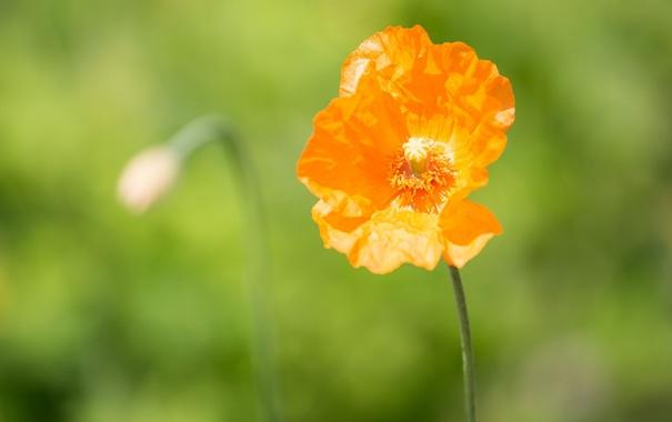 Фото обои оранжевый, мак, макро