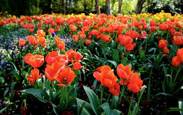 Фото обои лето, цветы, лепестки, тюльпаны, оранжевые