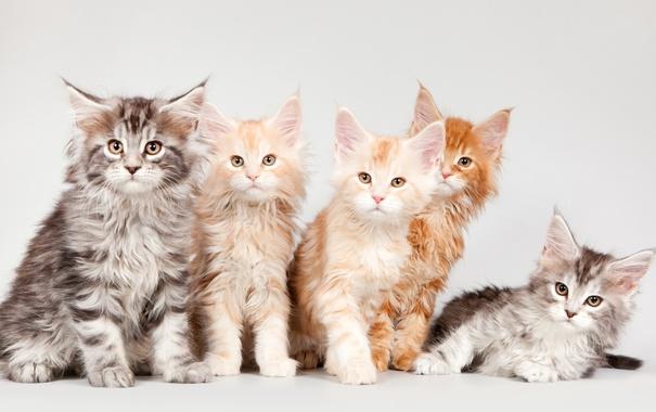 Фото обои котята, мейн-кун, квинтет