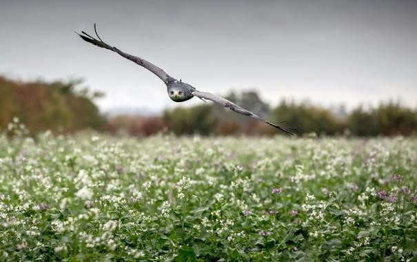 Фото обои field, flight, wings, flowers, hawk, rainy