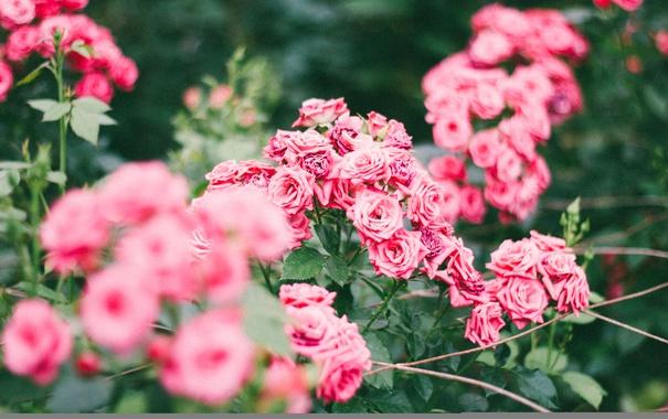 Фото обои куст, розы, цветы