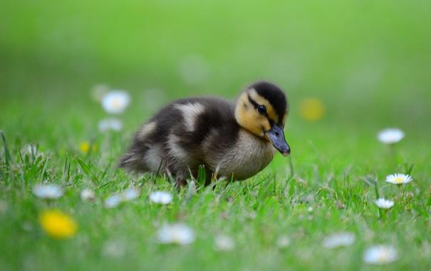 Фото обои цветы, grass, травка, flowers, утенок, duckling