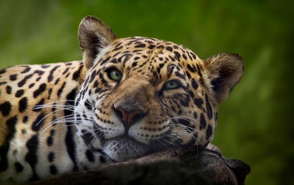 Фото обои природа, красота, ягуар
