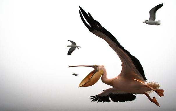 Фото обои полет, птица, крылья, чайка, пеликан