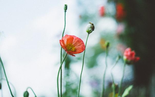 Фото обои красный, лепестки, мак, цветок