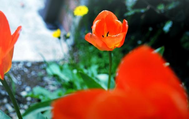 Фото обои цветы, лепестки, тюльпаны, красные