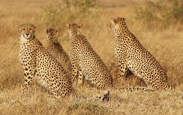 Фото обои трава, кошки, семья, семейство, гепарды