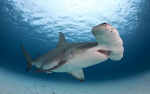 Фото обои Bahamas, Bimini, Great Hammerhead Shark
