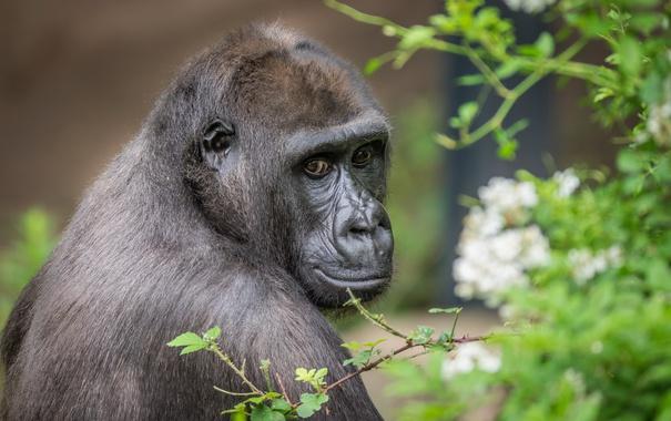 Фото обои взгляд, природа, обезьяна