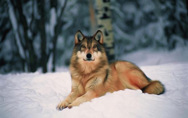Фото обои снег, природа, волк, хищник, зверь, HD обоя на рабочий стол