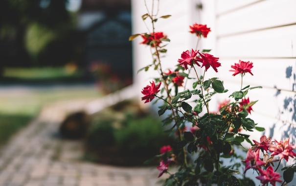 Фото обои красные, лепестки, двор, цветы, листья