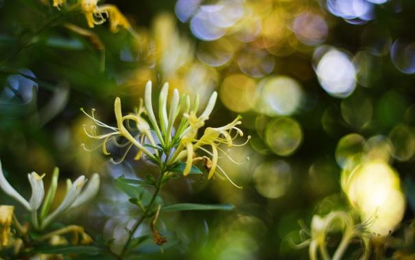 Фото обои цветы, ветки, желтые, жимолость
