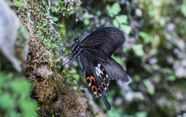 Фото обои макро, чёрный, бабочка, крылышки