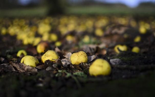 Фото обои природа, яблоки, сад
