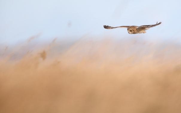 Фото обои сова, птица, полёт