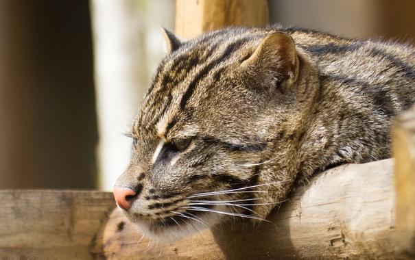 Фото обои кошка, кот, морда, профиль, fishing cat, кот рыболов