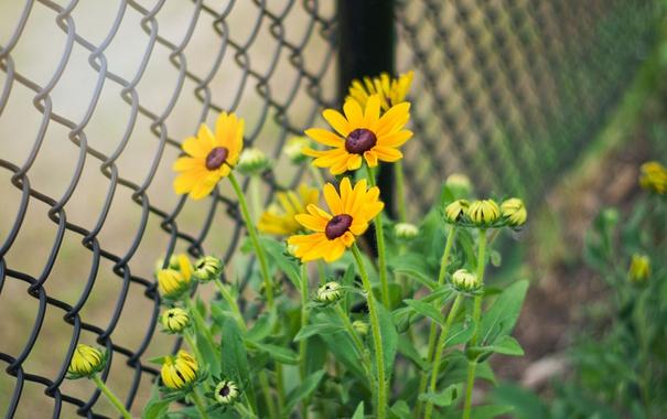 Фото обои цветы, стебли, забор, лепестки, бутоны