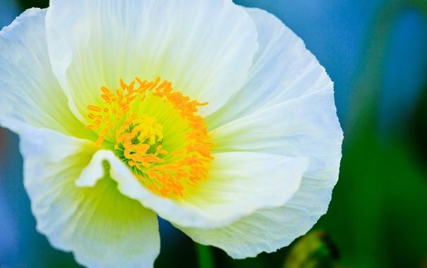 Фото обои цветок, растение, мак, лепестки