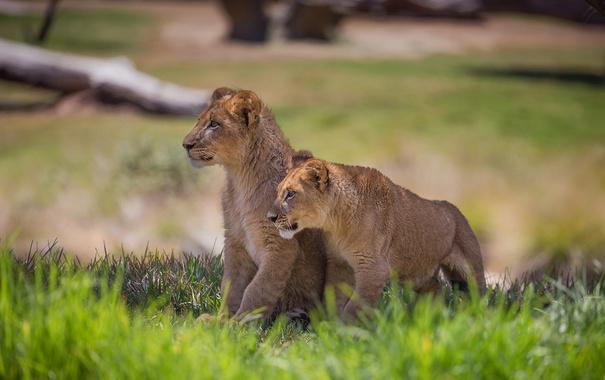 Фото обои grass, lions, animal