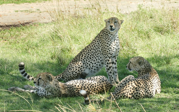 Фото обои трава, кошки, отдых, тень, гепарды, троица
