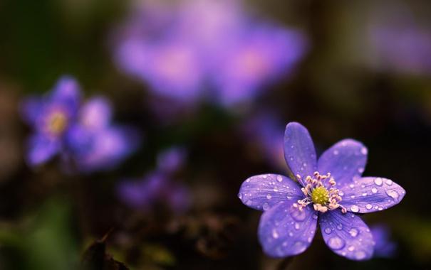 Фото обои макро, цветы, природа, первоцветы, сиреневые