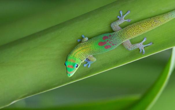 Фото обои природа, ящерица, лист