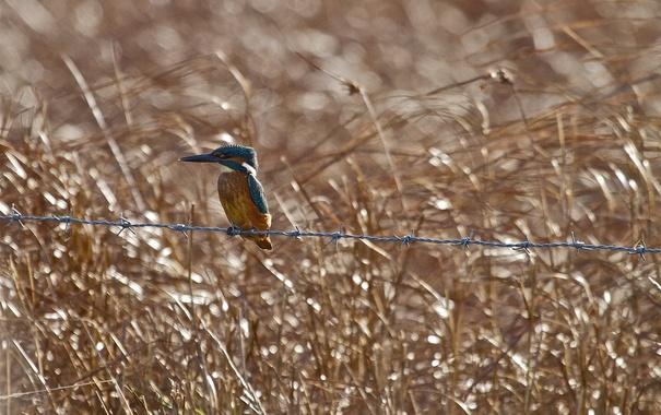 Фото обои фон, птица, проволока, зимородок, kingfisher