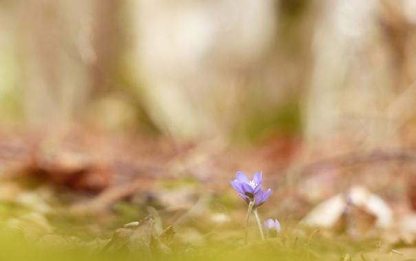 Фото обои природа, весна, фиалки, цветы