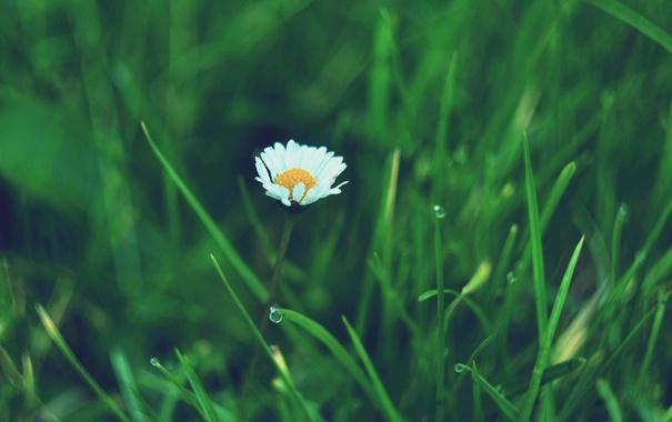Фото обои цветок, лепестки, ромашка, белые