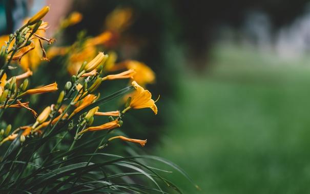 Фото обои листья, цветы, лилии