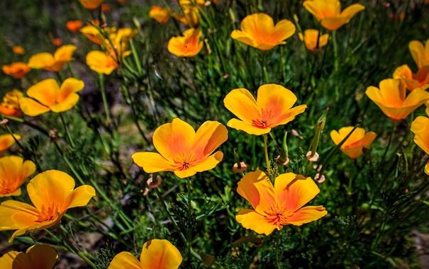 Фото обои цветы, желтые, эшштольция калифорнийская