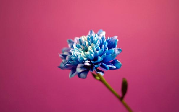 Фото обои розовый, голубой, цветы