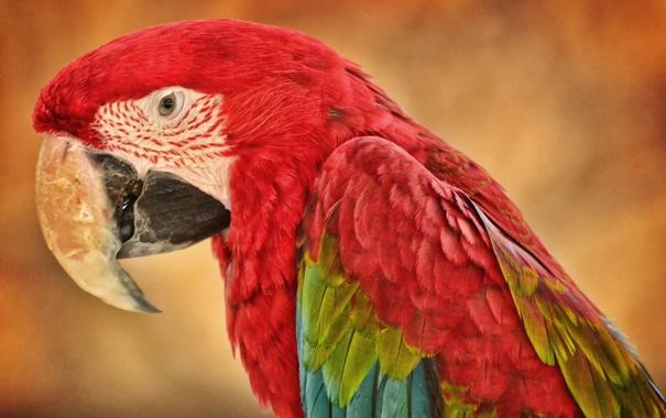 Фото обои природа, птица, попугай