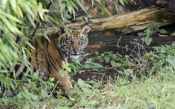 Фото обои животное, тигрёнок, хищник, природа, брёвна, ветки, листья
