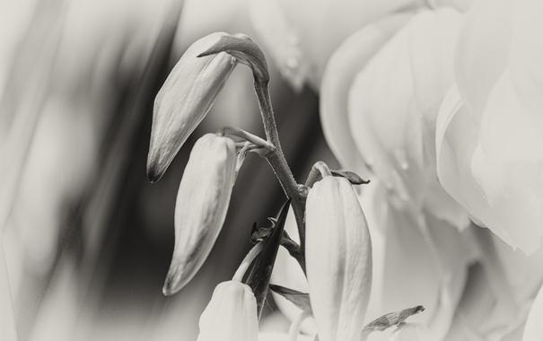 Фото обои белый, Цветок, flower, черно